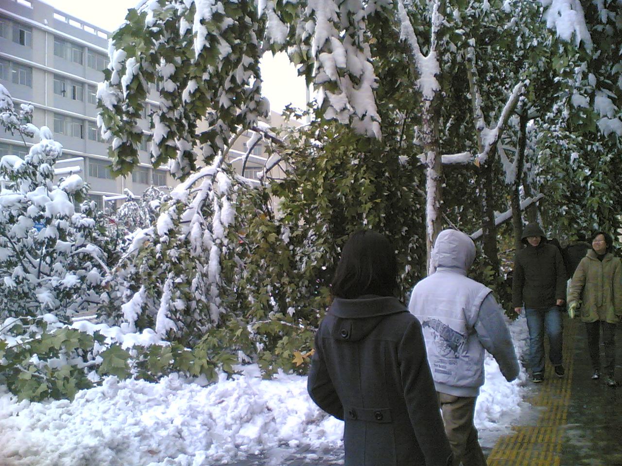 可怜的大树,就这样屈服在暴雪之下